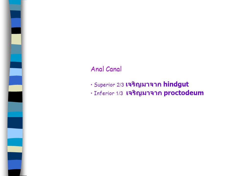 Anal Canal Superior 2/3 เจริญมาจาก hindgut