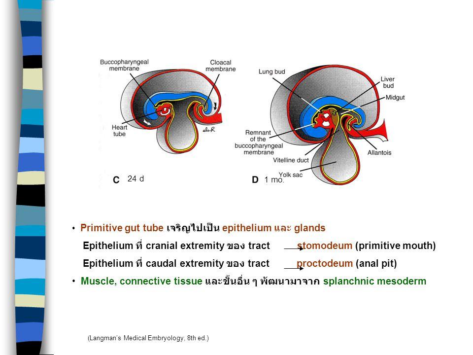 Epithelium ที่ cranial extremity ของ tract stomodeum (primitive mouth)