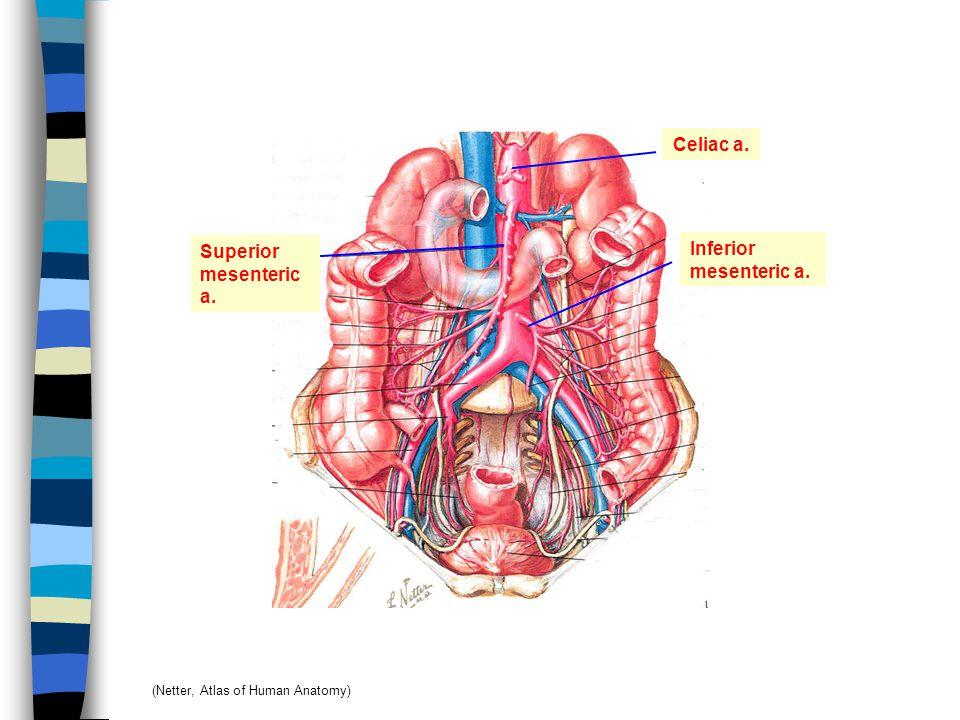 Celiac a. Superior Inferior mesenteric a. mesenteric a.
