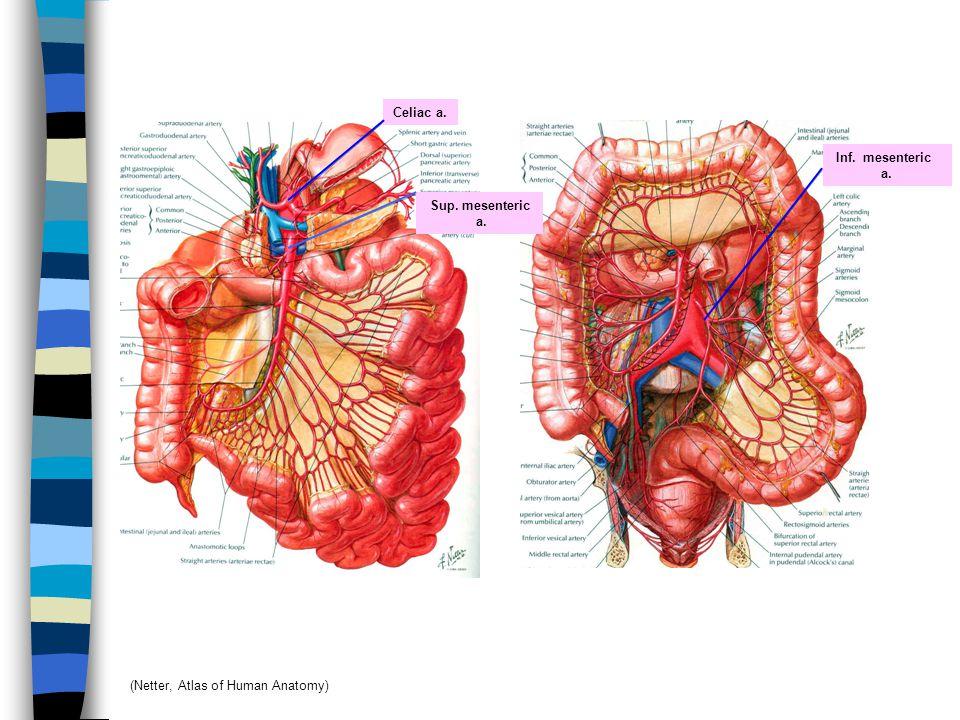 Celiac a. Inf. mesenteric a. Sup. mesenteric a. (Netter, Atlas of Human Anatomy)