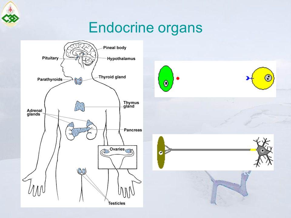 Endocrine organs