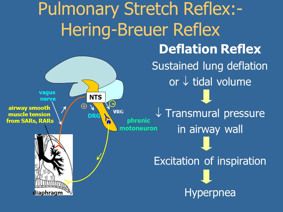 Pulmonary Stretch Reflex:- Hering-Breuer Reflex