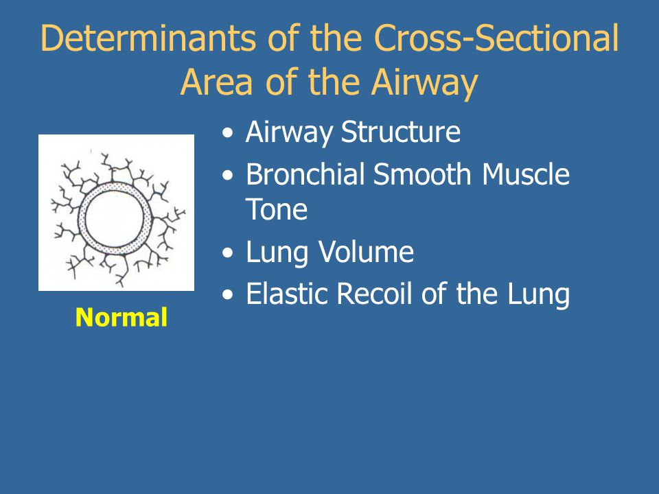 Determinants of the Cross-Sectional Area of the Airway