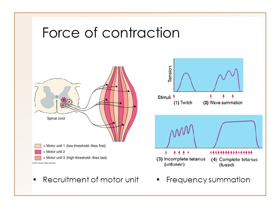 Force of contraction Recruitment of motor unit Frequency summation