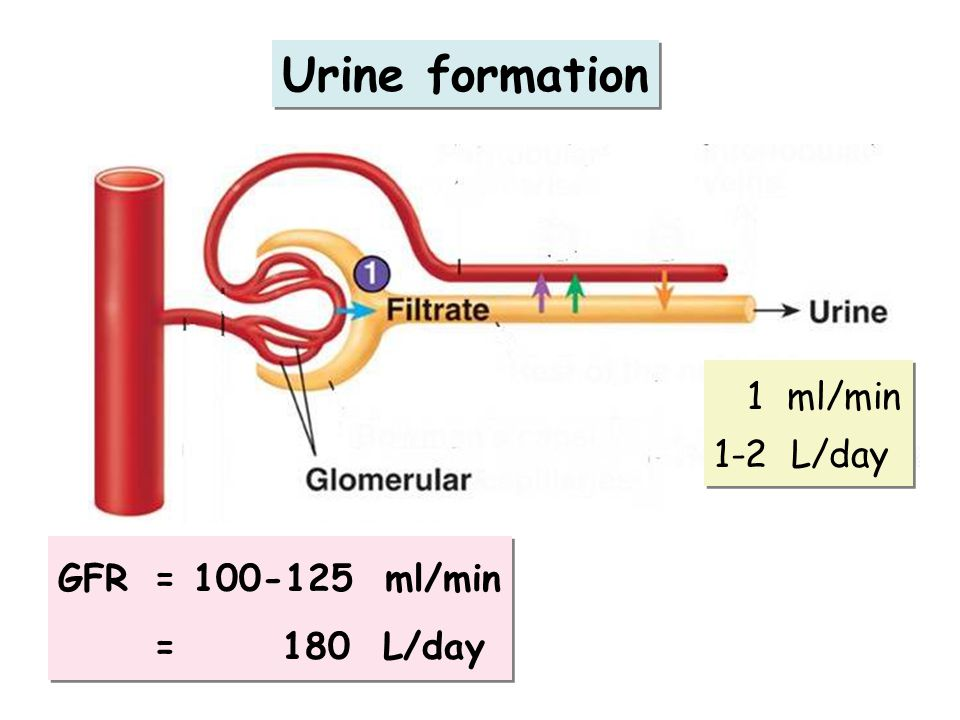Urine formation 1 ml/min 1-2 L/day GFR = 100-125 ml/min = 180 L/day