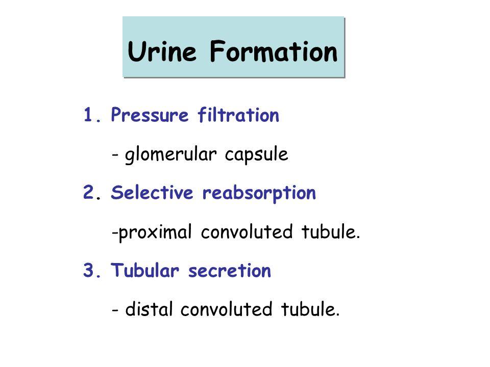 Urine Formation Pressure filtration - glomerular capsule