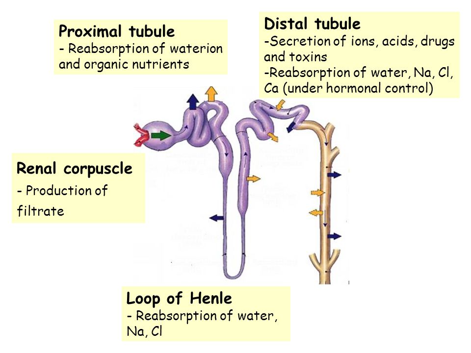 Distal tubule Proximal tubule Renal corpuscle Loop of Henle