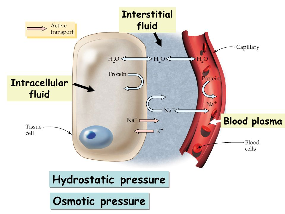 Hydrostatic pressure Osmotic pressure Interstitial fluid