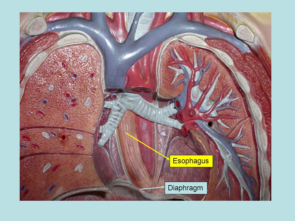 Esophagus Diaphragm