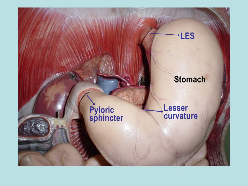 LES Stomach Lesser curvature Pyloric sphincter