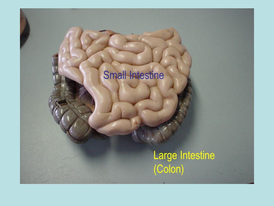 Small Intestine Large Intestine (Colon)
