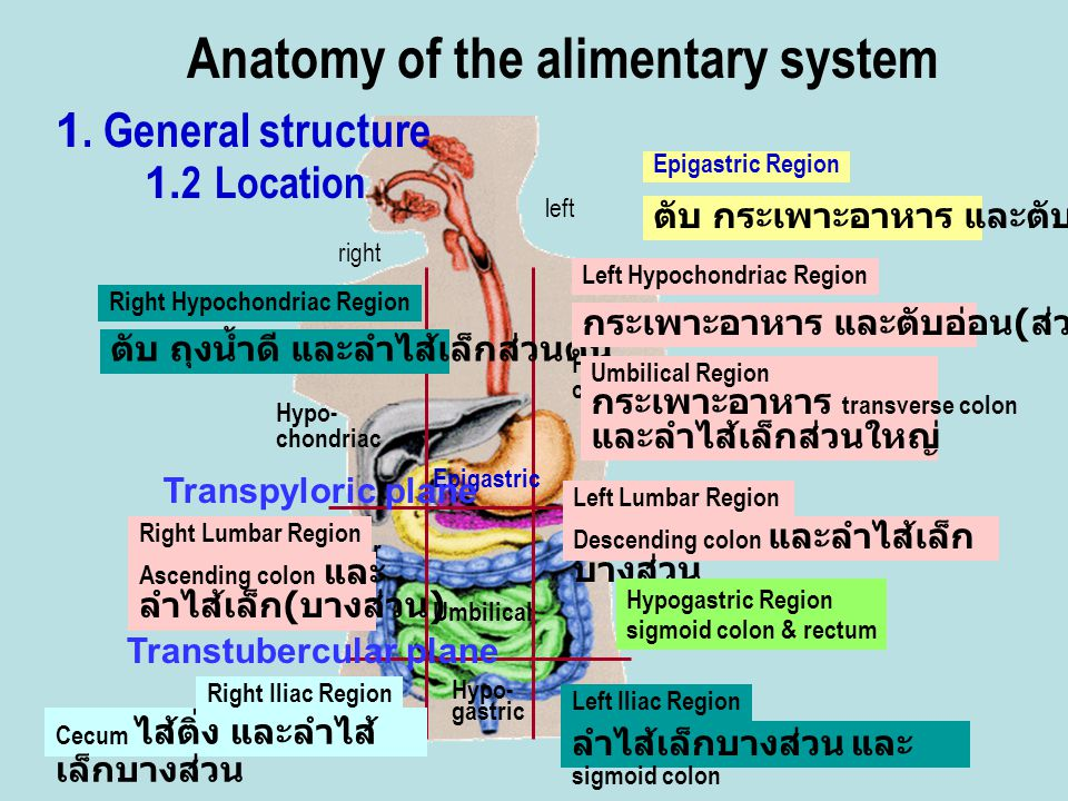 Anatomy of the alimentary system
