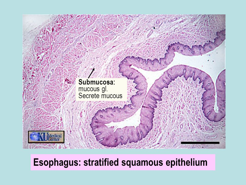 Esophagus: stratified squamous epithelium