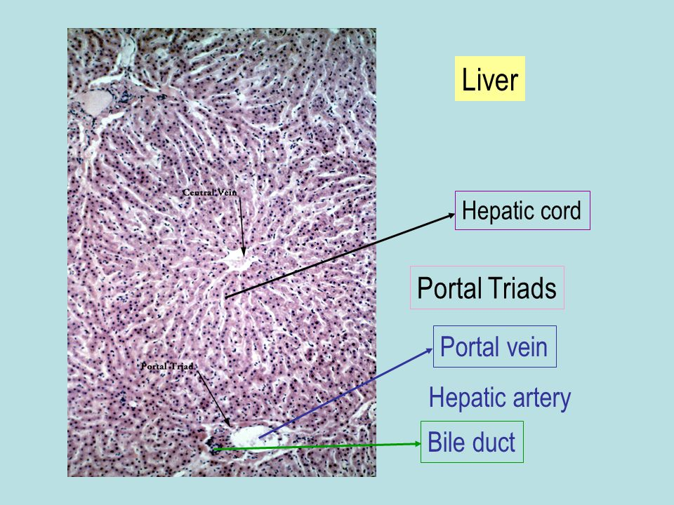 Liver Hepatic cord Portal Triads Portal vein Hepatic artery Bile duct