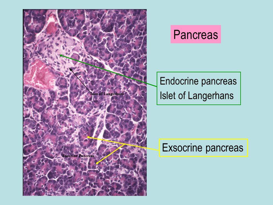 Pancreas Endocrine pancreas Islet of Langerhans Exsocrine pancreas