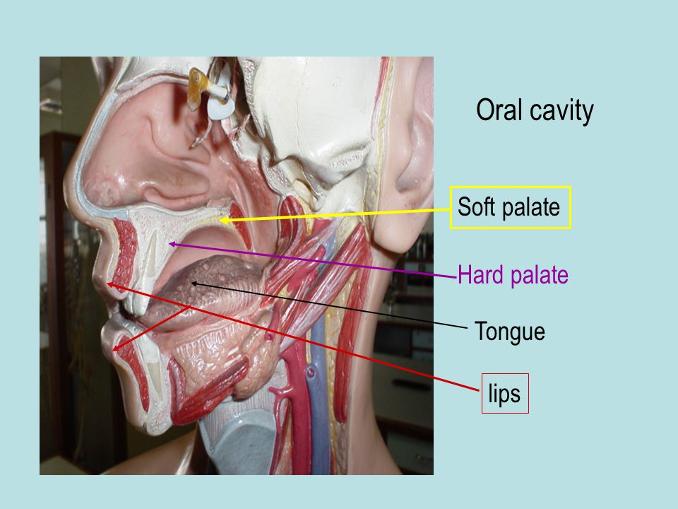 Oral cavity Soft palate Hard palate Tongue lips