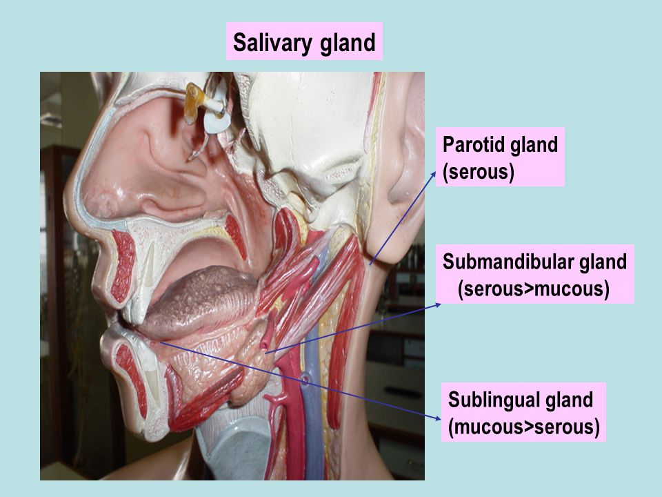 Salivary gland Parotid gland (serous) Submandibular gland
