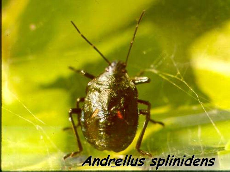 Andrellus splinidens