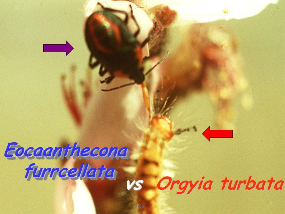Eocaanthecona furrcellata vs Orgyia turbata