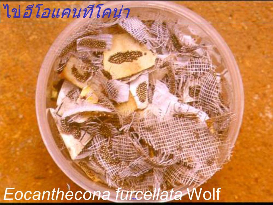 ไข่อีโอแคนทีโคน่า Eocanthecona furcellata Wolf