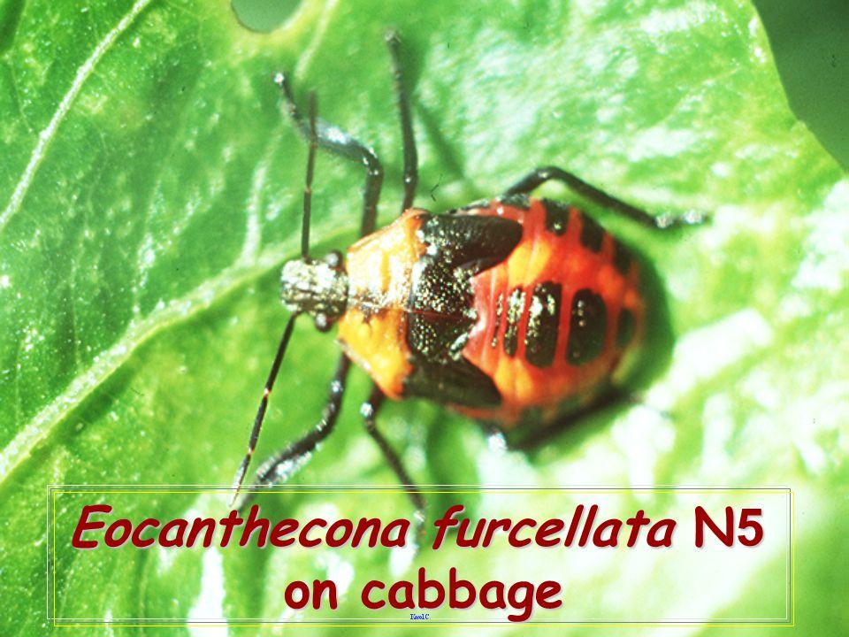 Eocanthecona furcellata N5