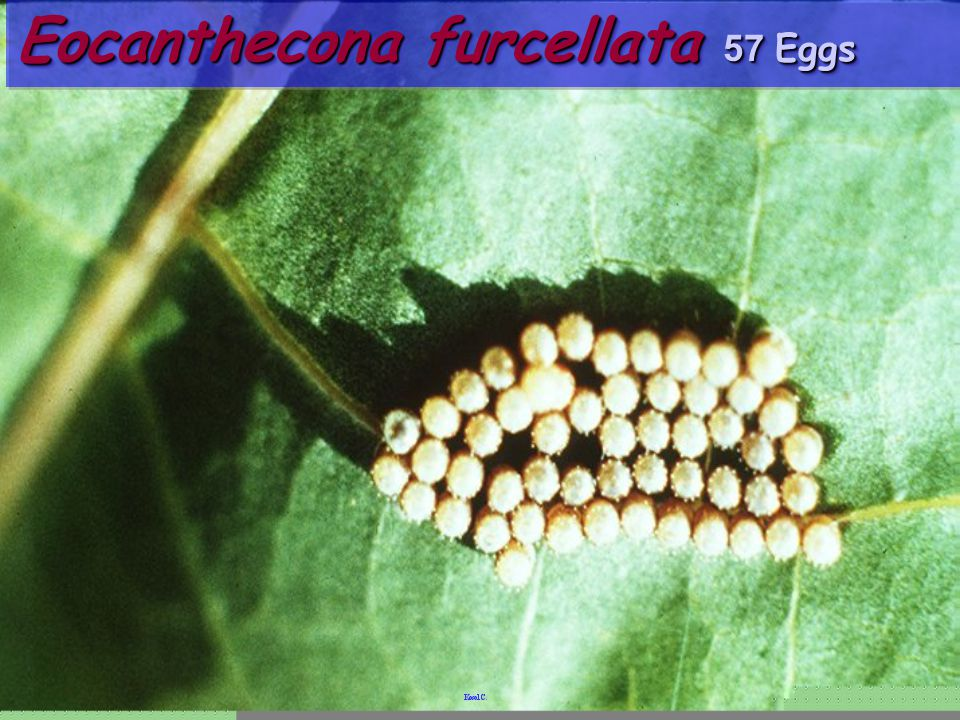Eocanthecona furcellata 57 Eggs