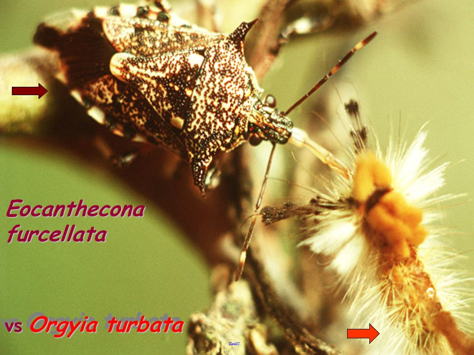 Eocanthecona furcellata vs Orgyia turbata