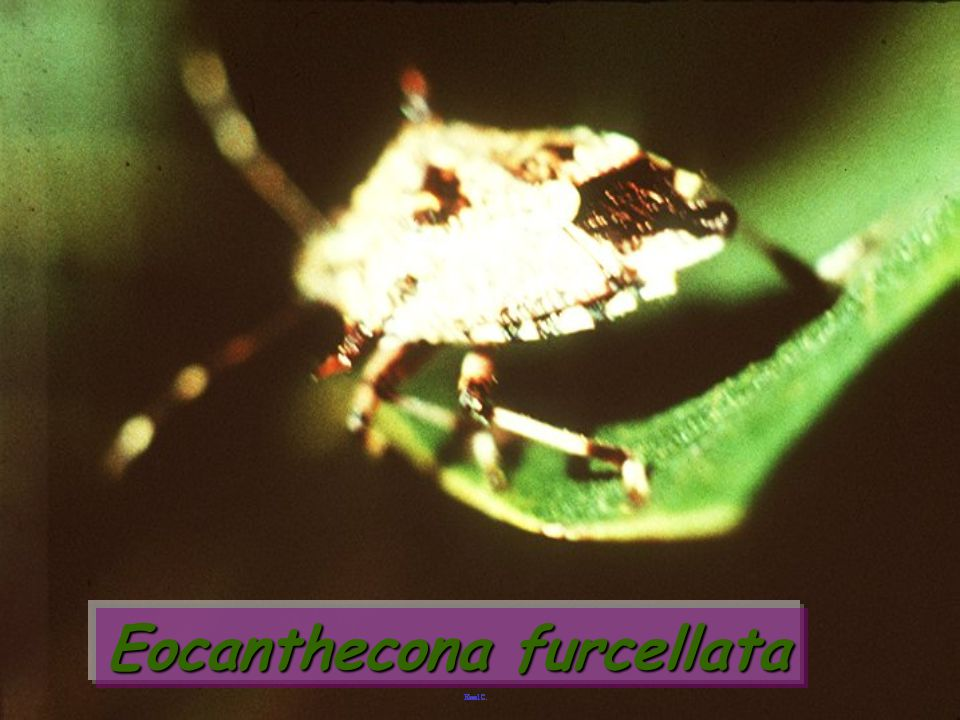 Eocanthecona furcellata