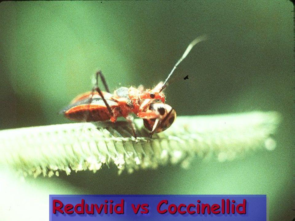 Reduviid vs Coccinellid