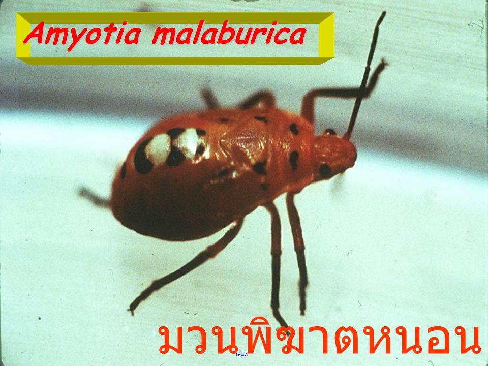 Amyotia malaburica มวนพิฆาตหนอน