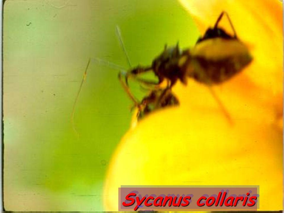 Sycanus collaris