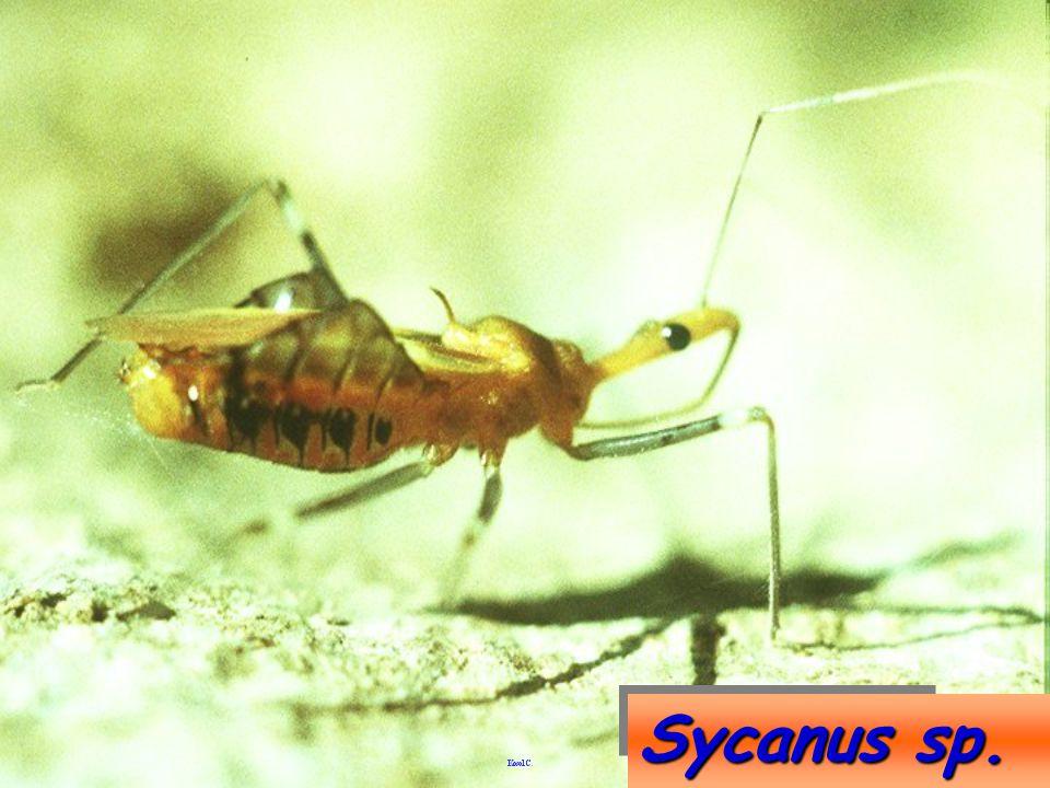 Sycanus sp.