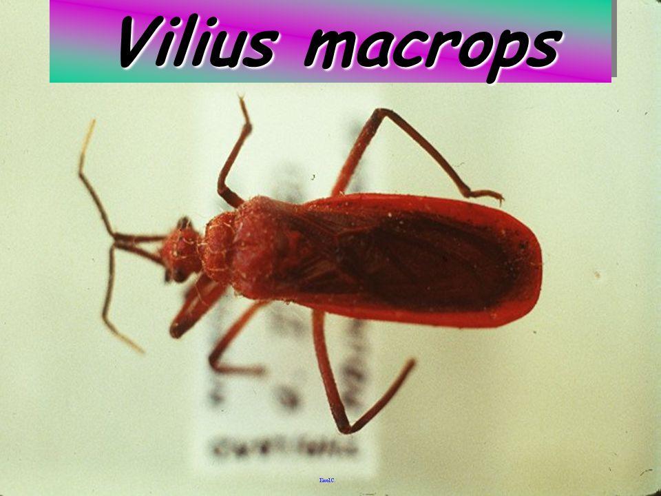 Vilius macrops