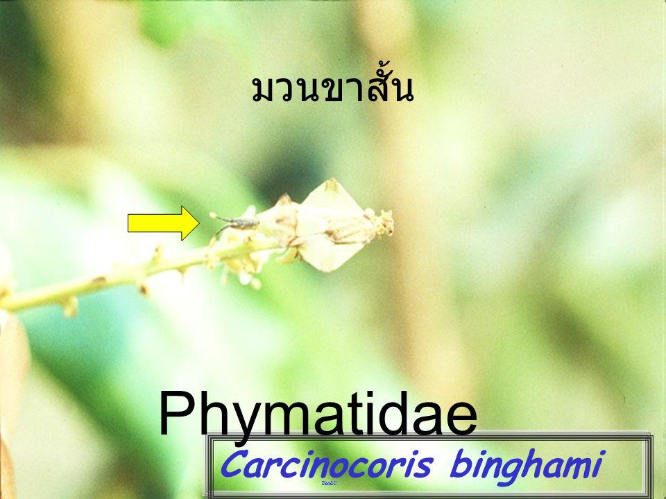 มวนขาสั้น Phymatidae Carcinocoris binghami