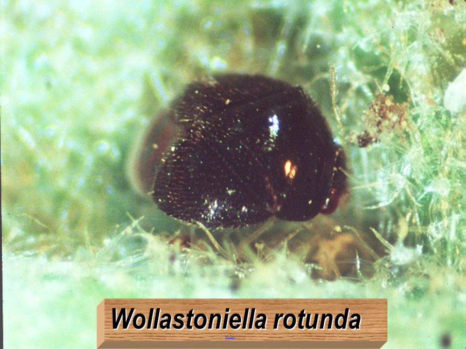 Wollastoniella rotunda