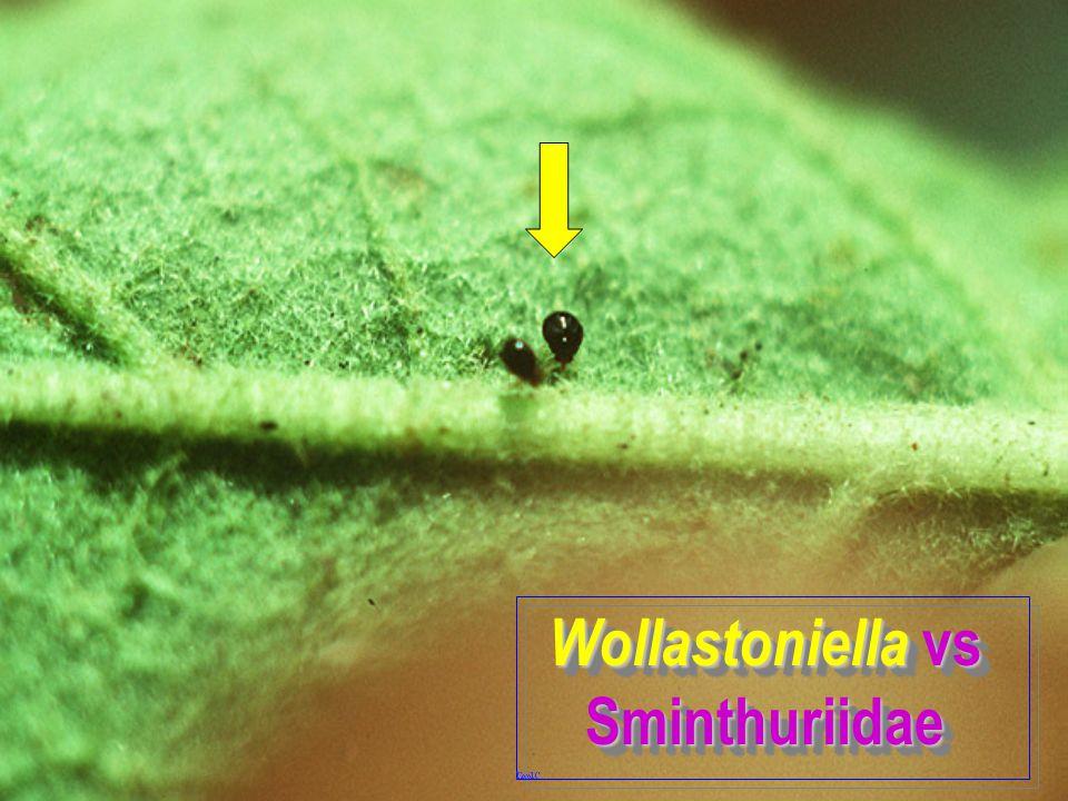 Wollastoniella vs Sminthuriidae