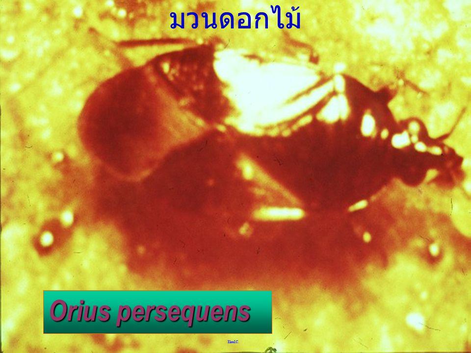 มวนดอกไม้ Orius persequens