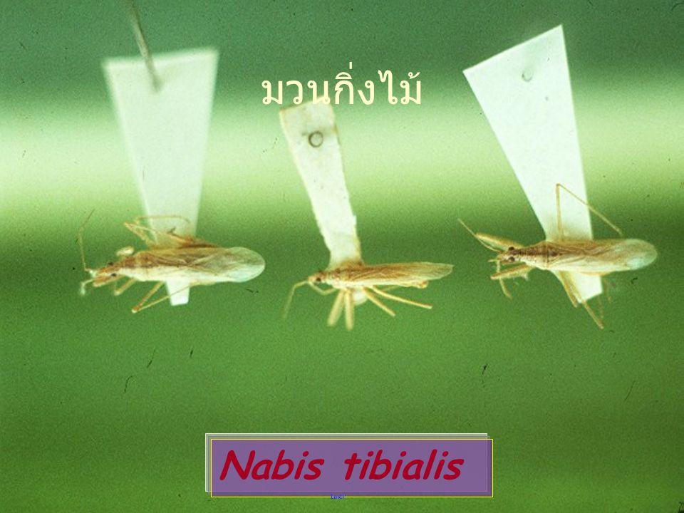 มวนกิ่งไม้ Nabis tibialis