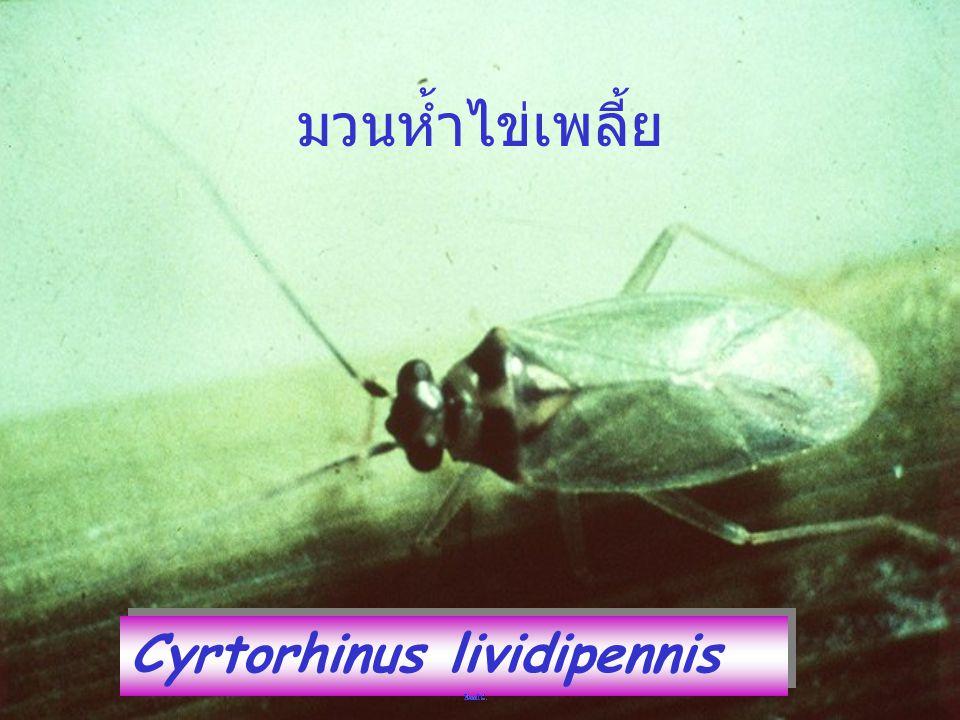 มวนห้ำไข่เพลี้ย Cyrtorhinus lividipennis