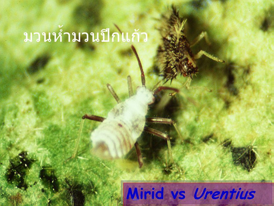 มวนห้ำมวนปีกแก้ว Mirid vs Urentius
