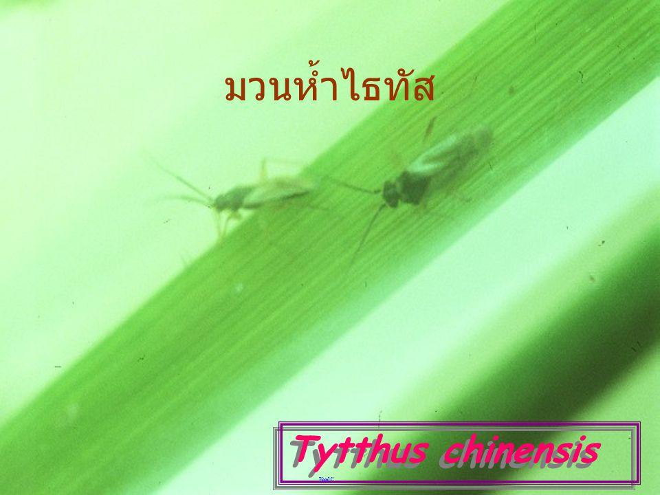 มวนห้ำไธทัส Tytthus chinensis