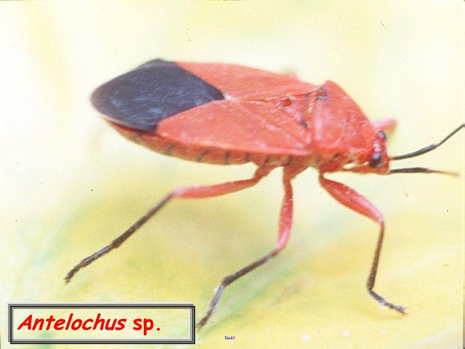 Antelochus sp.