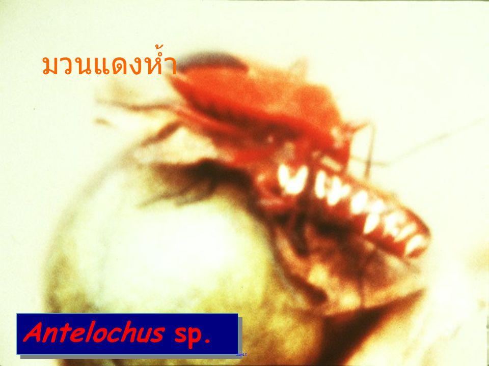 มวนแดงห้ำ Antelochus sp.