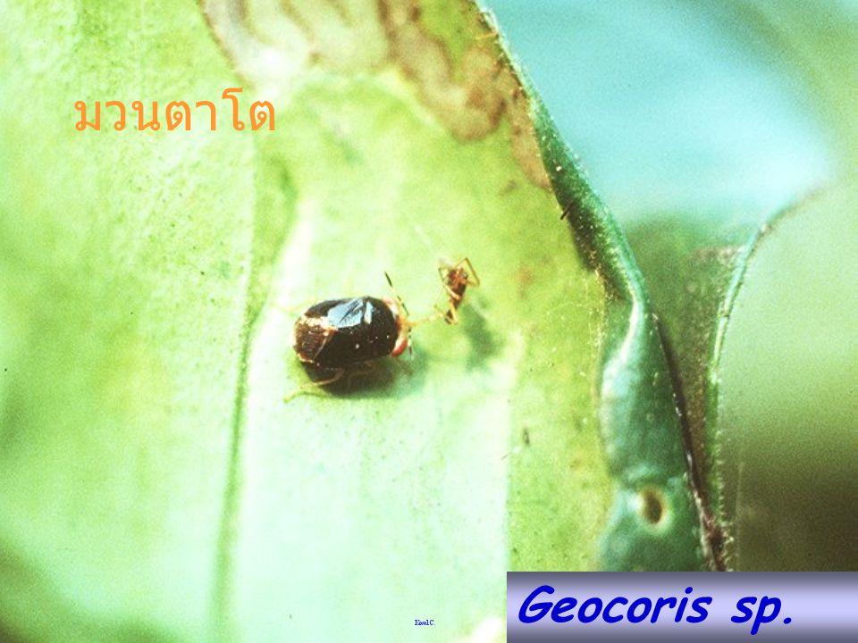 มวนตาโต Geocoris sp.