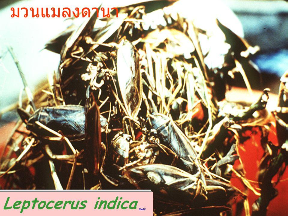 มวนแมลงดานา Leptocerus indica