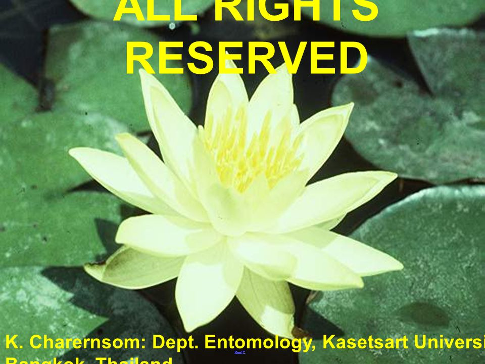 ALL RIGHTS RESERVED K. Charernsom: Dept. Entomology, Kasetsart University, Bangkok, Thailand