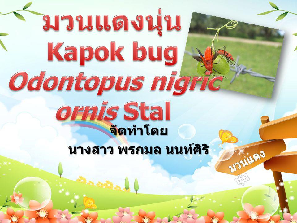 มวนแดงนุ่น Kapok bug Odontopus nigricornis Stal