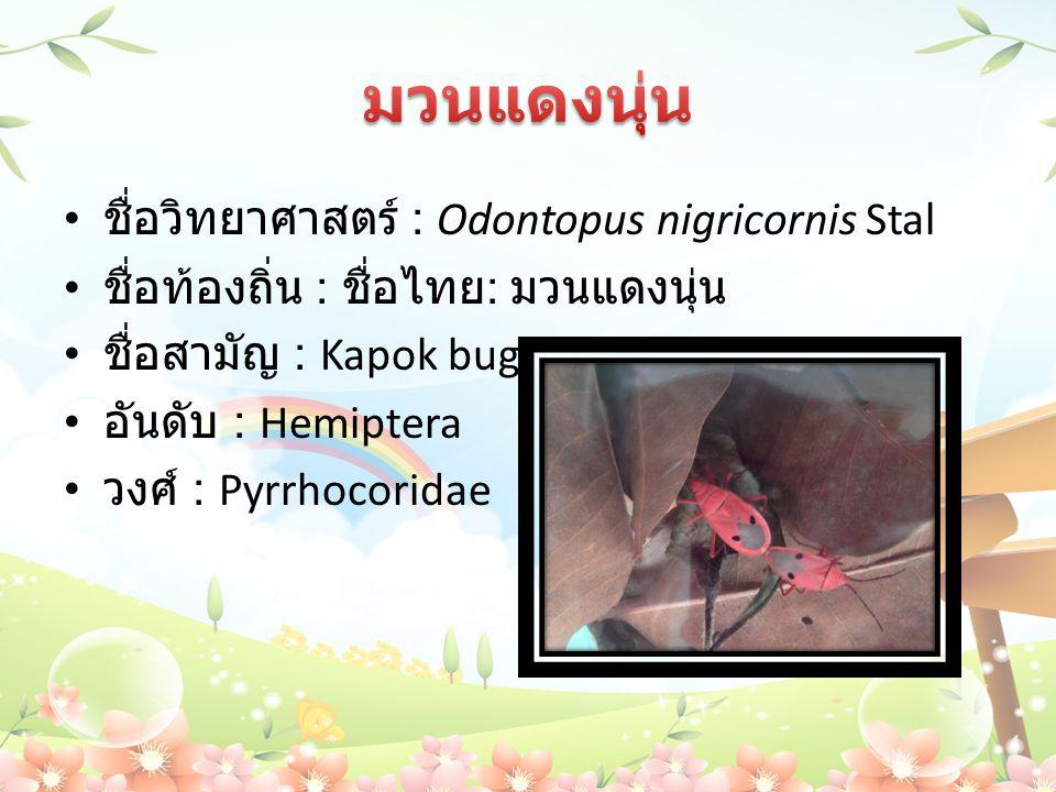 มวนแดงนุ่น ชื่อวิทยาศาสตร์ : Odontopus nigricornis Stal