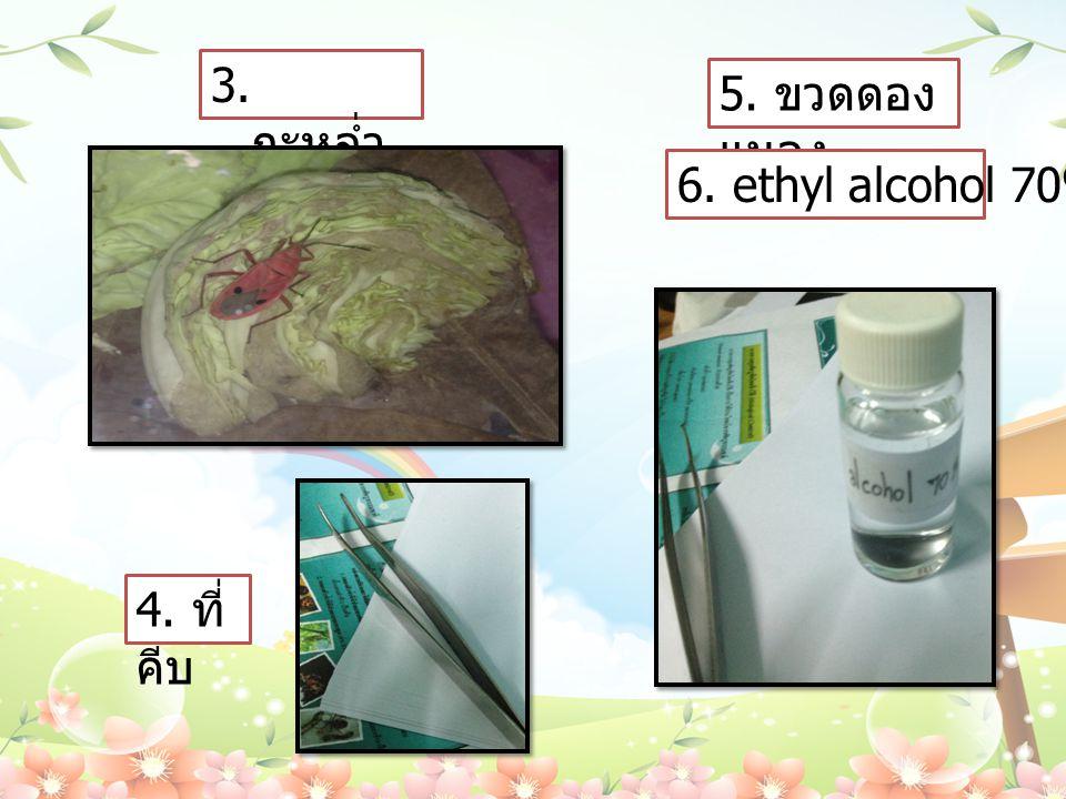 3. กะหล่ำปลี 5. ขวดดองแมลง 6. ethyl alcohol 70% 4. ที่คีบ