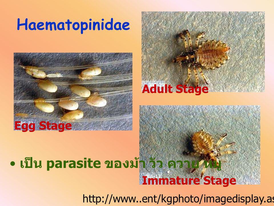 Haematopinidae เป็น parasite ของม้า วัว ควาย หมู Adult Stage Egg Stage